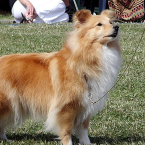 Sheltie - zabarveni Sable