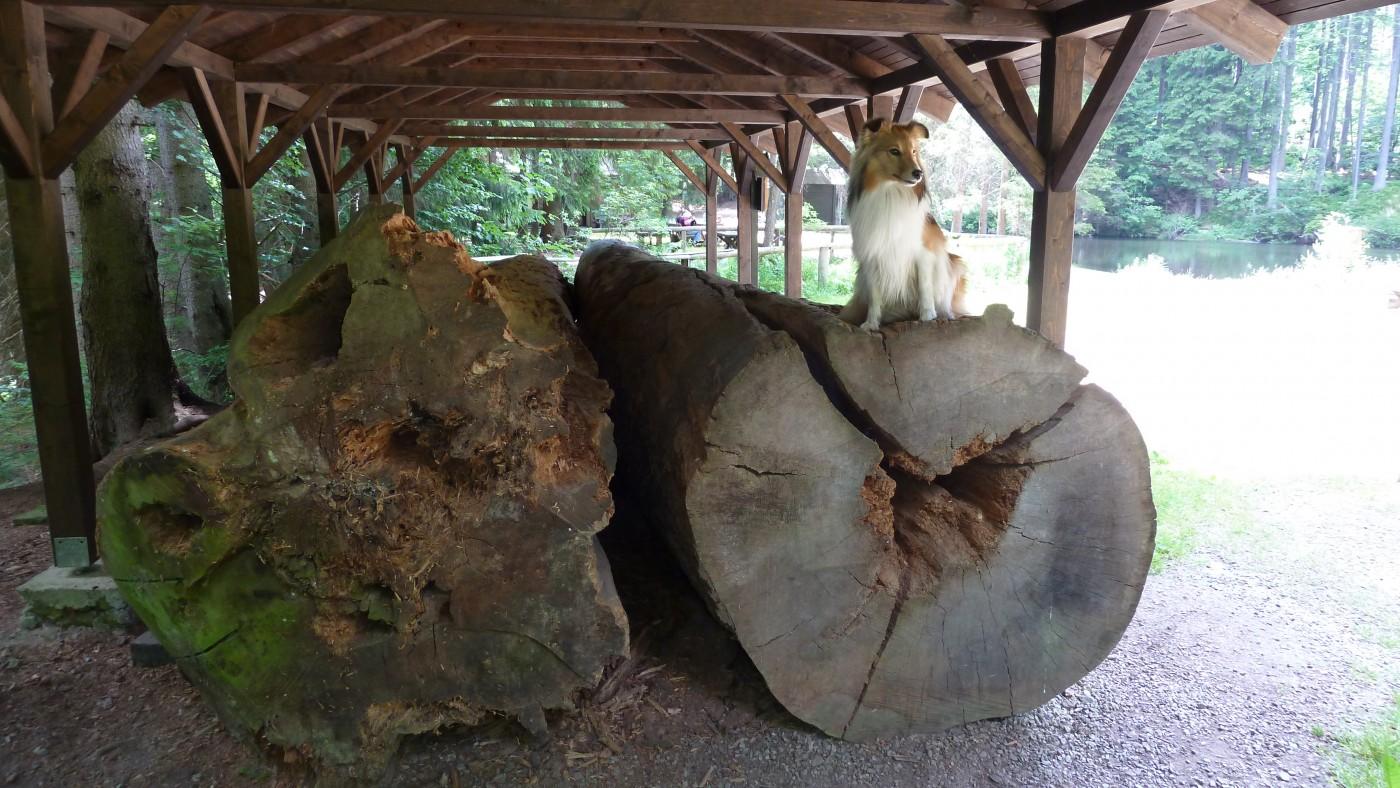 Boubínský prales a rozhledna Boubín – naše první šumavská tůra