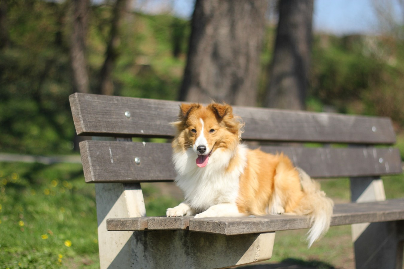 TOP SHELTIE 2016